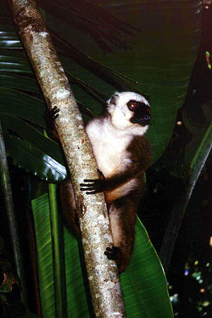 more pictures about other lemurs living on the island