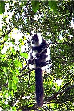 more pictures about black and white ruffed lemurs.