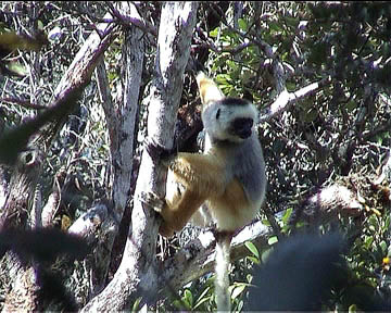 more pictures about Diademed Sifakas in Mantadia