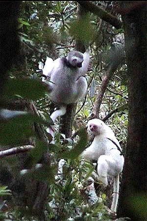 more pictures about the white sifakas